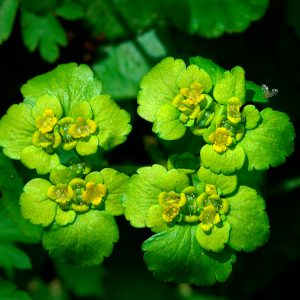 Śledziennica skrętolistna - Chrysosplenium alternifolium