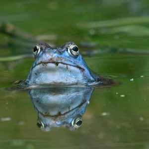 Żaba moczarowa (samiec) Rana arvalis)