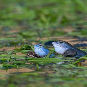 Żaba moczarowa gody - Rana arvalis