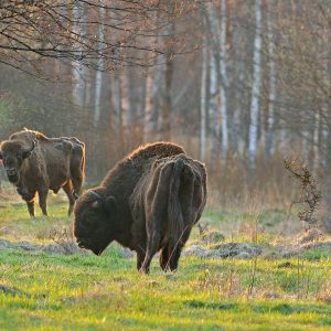 Żubr (byki) - Bison bonasus