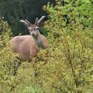 Jeleń (byk) - Cervus elaphus