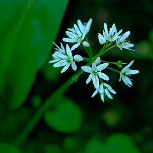 Czosnek Niedźwiedzi Kwiat - Allium ursinum