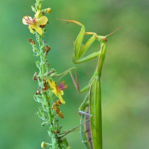 Modliszka zwyczajna (samica) - Mantis religiosa