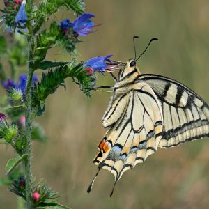 Paź królowej - Papilio machaon