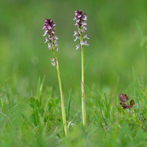 Storczyk drobnokwiatowy - Orchis ustulata