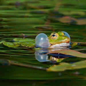 Żaba jeziorkowa (gody) - Pelophylax lessonae syn. Rana lessonae