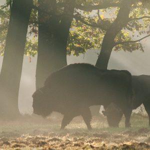 Żubry - Bison bonasus