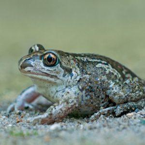 Grzebiuszka ziemna (huczek) - Pelobates -fuscus