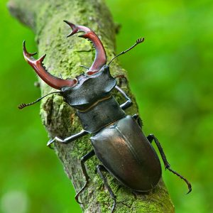 Jelonek rogacz - Lucanus cervus