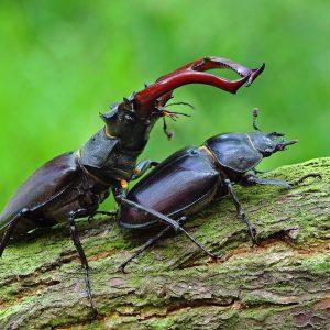 Jelonek rogacz (para) - Lucanus cervus