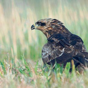 Kania-czarna - Milvus migrans