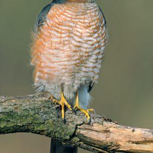 Krogulec (samiec) - Accipiter nisus