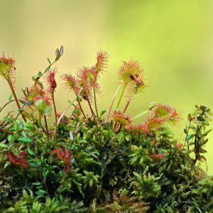 Rosiczka okrągłolistna - Drosera rotundifolia