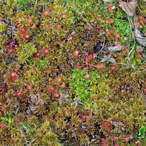 Rosiczka okrągłolistna - Drosera rotundifolia z żurawiną, mchami i torfowcami