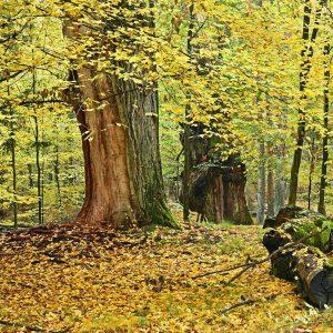 Stary las z dębami jesienią