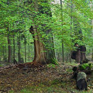 Stary las z dębami późnym latem