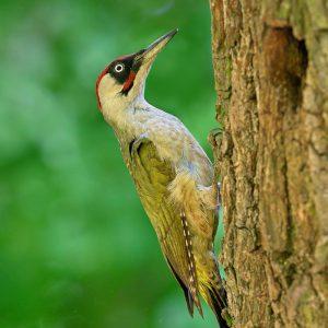 Dzięcioł zielony (samiec) - Picus viridis