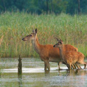 Jeleń łania z cielakiem - Cervus elaphus