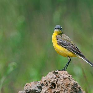 Pliszka żółta - Motacilla flava