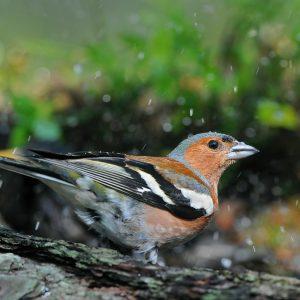 Zięba (samiec) - Fringilla coelebs