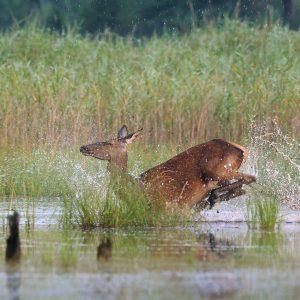 Jeleń (łania) - Cervus elaphus