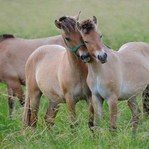 Konie rasy fiordzkiej