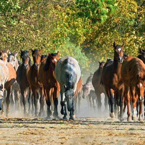 Konie araby w Michałowie