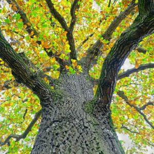 Dąb bezszypułkowy - Quercus petraea