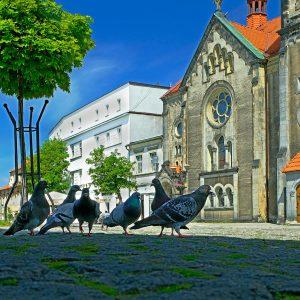 Gołębie miejskie