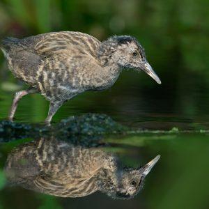 Wodnik (młody)  - Rallus aquaticus