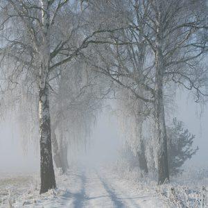 Aleja brzozowa zimą