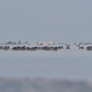 Kaczki krzyżówki - Anas platyrhynchos