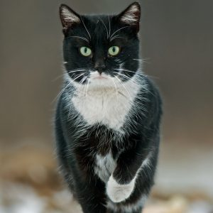 Kot - Felis catus domestica Erxleben
