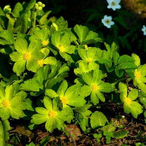 Cieszynianka wiosenna -  Hacquetia epipactis