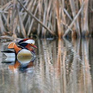 kaczka mandarynka (samiec) - Aix galericulata