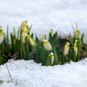 Śnieżyca wiosenna - Leucojum vernum
