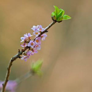 Wawrzynek wilczełyko (kwiaty) - Daphne mezereum
