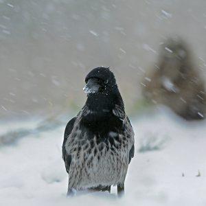 Mieszaniec Wrony - Corvus corone z czarnowronem - Corvus corone corone