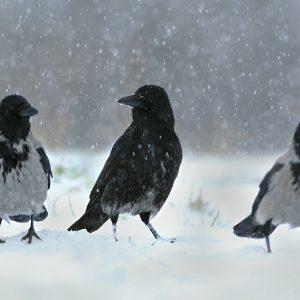 Wrony (2) - Corvus cornix i   czarnowron - Corvus corone corone (mieszaniec z wroną)