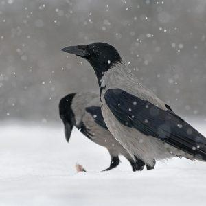 Wrona siwa - Corvus corone cornix