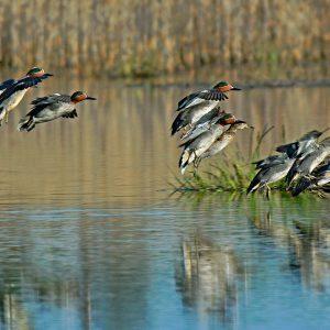 Kaczki cyraneczki - Anas crecca