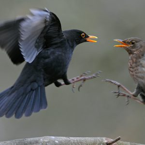 Kos (samiec i samica) - Turdus merula
