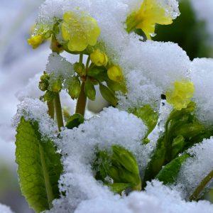 Pierwiosnka wyniosła - Primula elatior