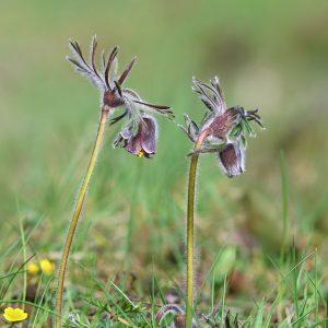 Sasanka łąkowa - Pulsatilla pratensis