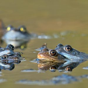 Żaba moczarowa (gody) - Rana arvalis
