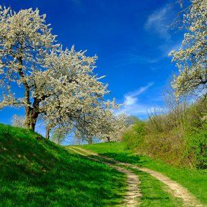 Aleja z kwitnącymi czereśniam