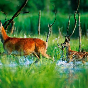 Jeleń (łania) z cielakiem - Cervus elaphus