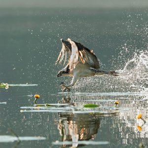 Rybołów - Pandion haliaetus