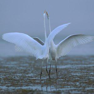 Czapla biała - Ardea alba