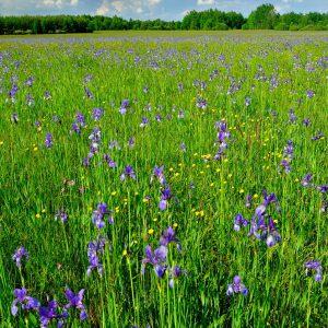 Kosaciec-syberyjski - Iris sibrica